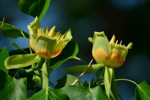 Two Tulip Tree blossoms in a tulip tree