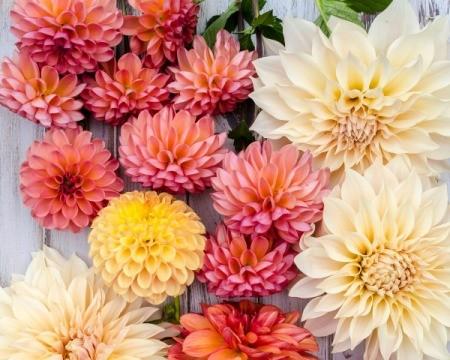Assorted dahlia blossoms
