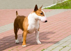 brown and white bull terrier on brick walk