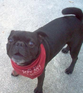 bug boston terrier pug thriftyfun