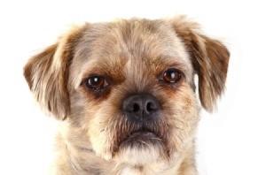 Pug Mix dog's face
