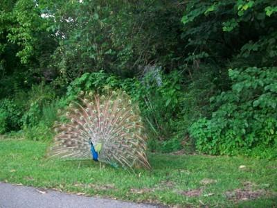 Wildlife: Peacock