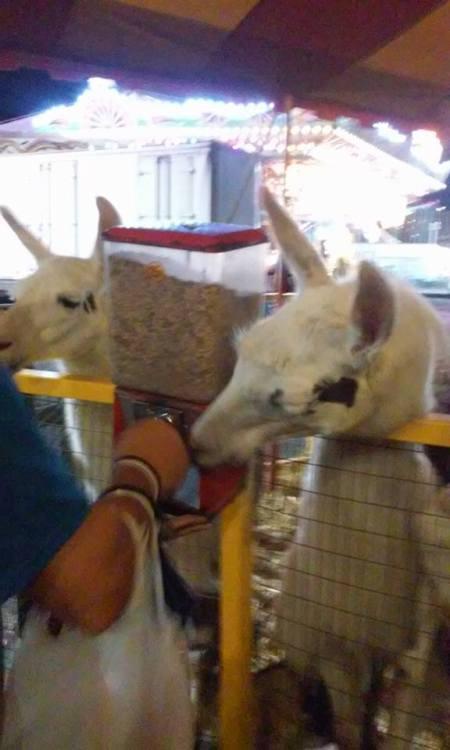 llamas at food dispensing machine
