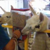 llamas at food dispensing machine
