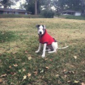 dog outside wearing a red jacket