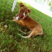 reddish brown Pitt looking dog