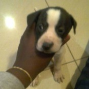 gray and white puppy