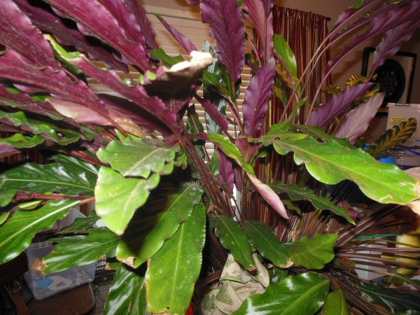 Plant With Long Ruffled Med Green Leaves Purple Undersides