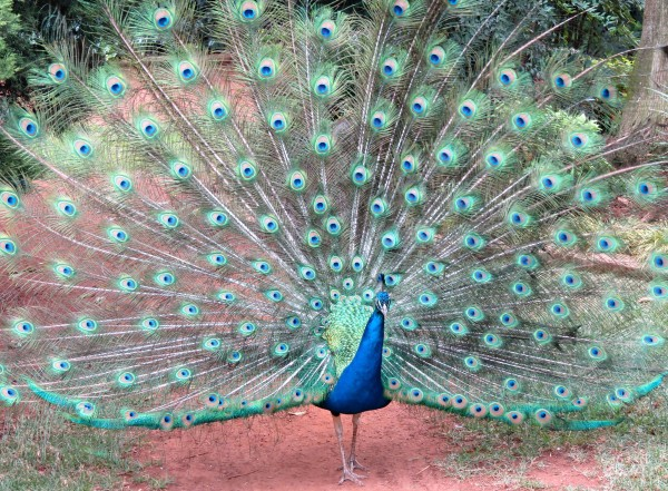 short essay on my favourite bird peacock My favourite bird peacock essay in gujarati, nov 3, 2016 - 1 min - uploaded by филипп козаков613 hindi oration my favourite bird ( peacock) - duration 125.