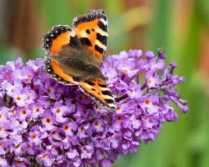 Butterfly on the blooms of a Buddleia (Butterfly Bush)