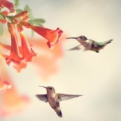 Two hummingbirds visiting the blooms of a hummingbird vine