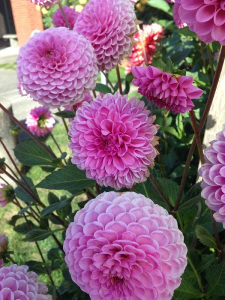 Dahlias at the Post Office