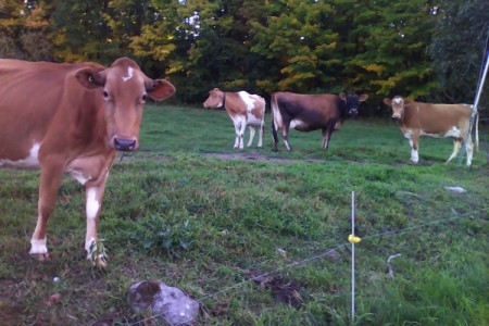 Concerned Neighbors (Cows)