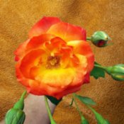 Piñata rose closeup
