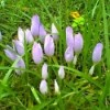 A Carpet Of Colchicum (Meadow Saffron)