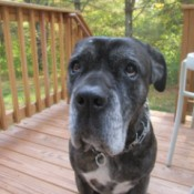Miss Fiona (Italian Mastiff)