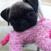 Pug with pink dog toy