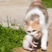 Mother cat carrying a kitten in her mouth walking outside