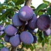 Plums growing on tree