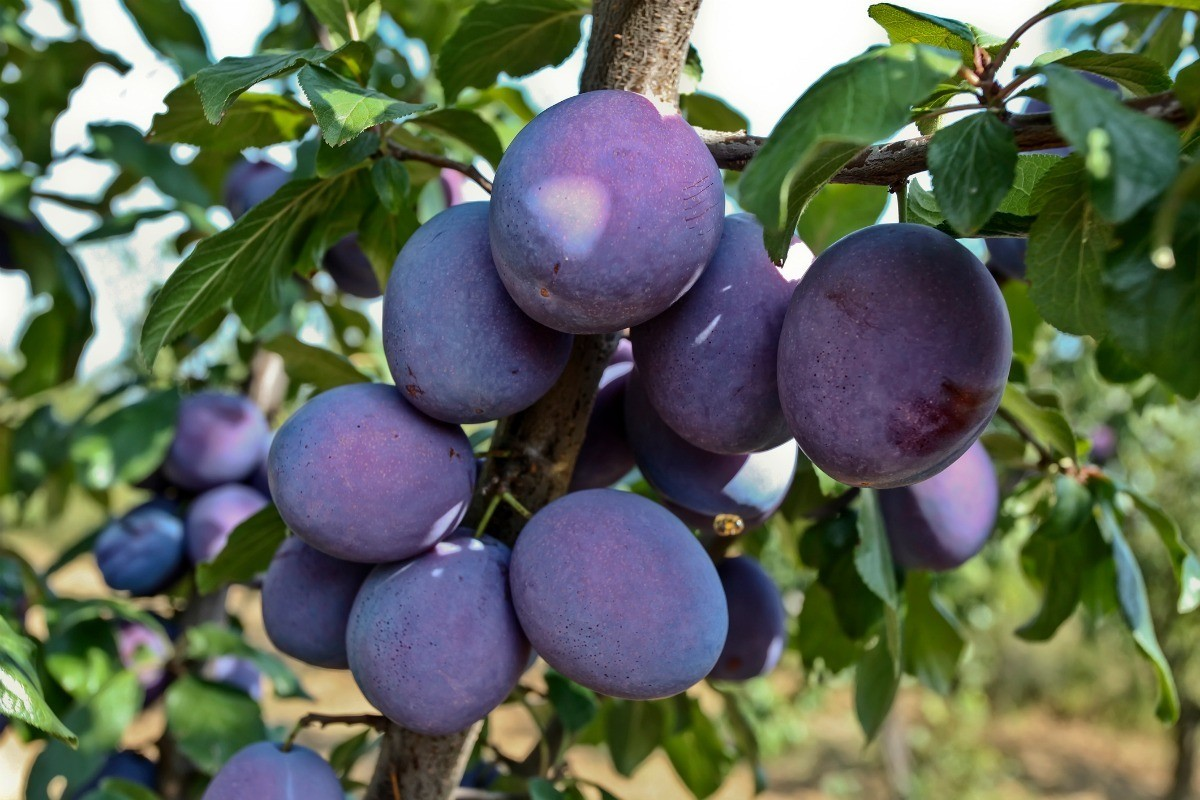 Growing Plum Trees From Pits Thriftyfun
