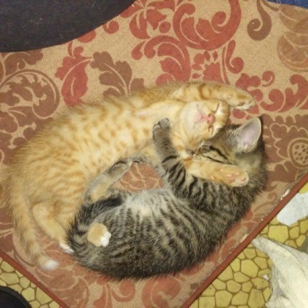 Peanut and Tiger (Domestic Shorthair)