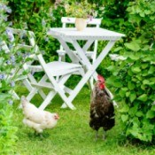 Two chickens in the backyard garden.