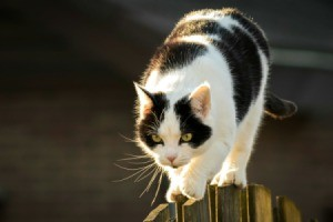 Neighbor Cat on a fence