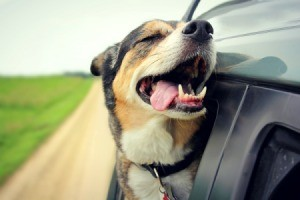 A dog with his head out the window of a car.