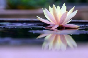 A lotus flower in a pond, with a clear reflection.