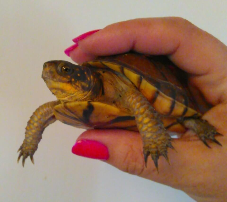 Baby Box Turtle Thriftyfun