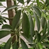 Tall narrow plant with multiple long leaves per branch.