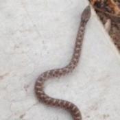 Brown and tan snake.