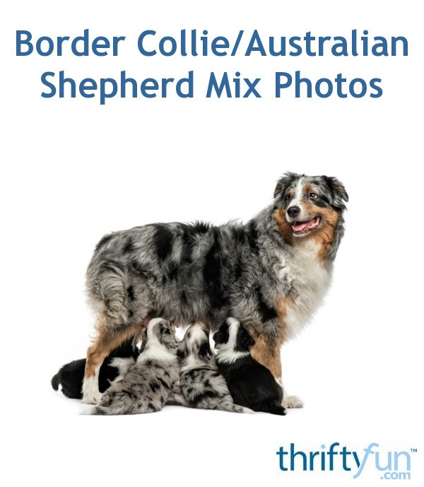Border Collie Australian Shepherd Mix Photos Thriftyfun