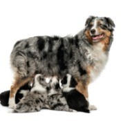 An Australian Shepherd with cross bred Border Collie puppies.