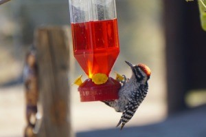 A woodpecker at a hummingbird feeder