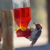 A woodpecker at a hummingbird feeder