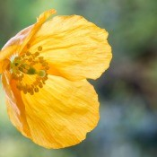 A yellow Welsh poppy in bloom.