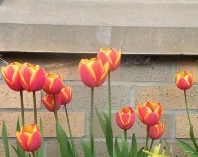 Garden: Tulips