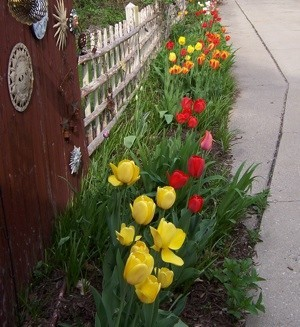 A garden bed full of different colored tulips.