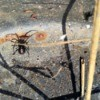 male black widow spider under a flowerpot