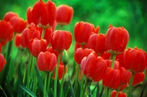 Red tulips in bloom.