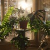 large potted plant with dark green deeply cut leaves