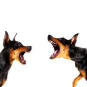 Two protective Doberman Pinchers barking at each other.