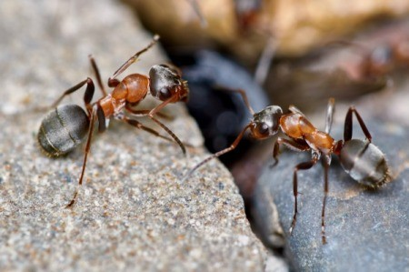 Two garden ants on a rock.