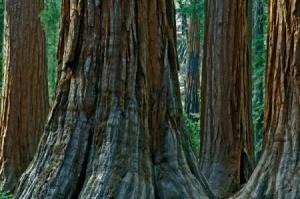 Redwood trees in California.