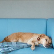 A cat and a dog on a blue sofa.