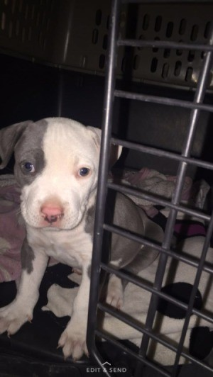 puppy standing in crate