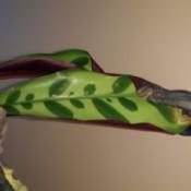 long light green leaf with darker markings