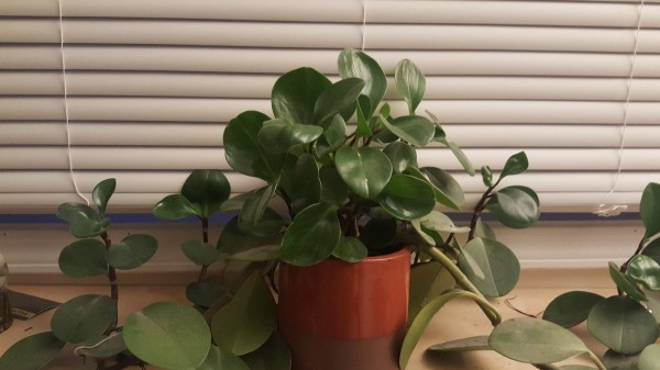 trailing houseplant with thickish stems and medium sizes green leaves