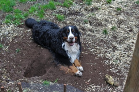 Retro (Bernese Mountain Dog)